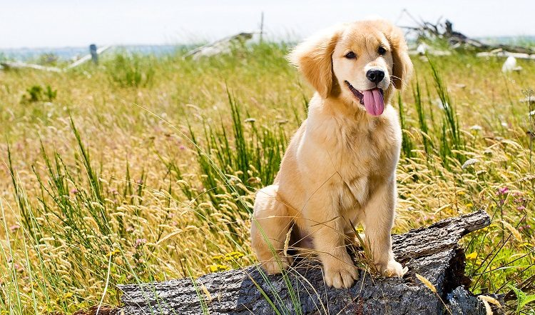 temperamento golden retriever